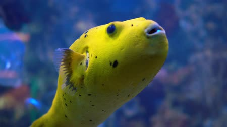 pufferfish : Arothron meleagris, commonly known as the guineafowl puffer or golden puffer, is a pufferfish from the Indo-Pacific, and Eastern Pacific. It is occasionally harvested for the aquarium trade.