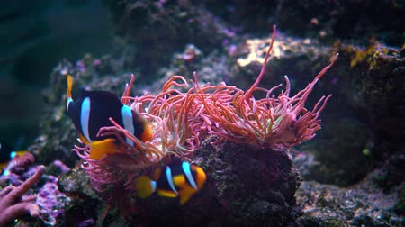 inculto : Topical saltwater fish, Anemonefish. Clownfish or anemonefish are fishes from the subfamily Amphiprioninae in the family Pomacentridae.