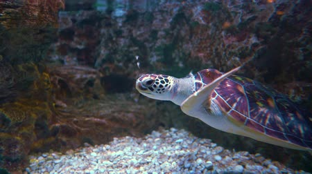 submerge : Green sea turtle (Chelonia mydas), also known as the green turtle, black (sea) turtle or Pacific green turtle, is a large sea turtle of the family Cheloniidae. Stock Footage