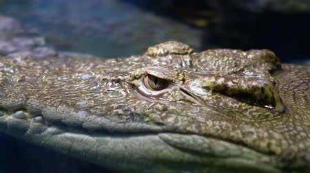 gyertyafa : Siamese crocodile (Crocodylus siamensis) is a small to medium-sized freshwater crocodile native to Indonesia, Brunei, East Malaysia, Laos, Cambodia, Myanmar, Thailand and Vietnam. Stock mozgókép