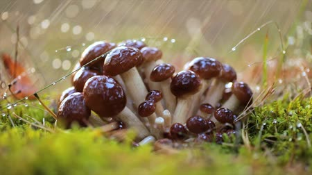 dešťové kapky : Armillaria Mushrooms of honey agaric In a Sunny forest in the rain. Honey Fungus are considered in Ukraine, Russia, Poland, Germany and other European countries as one of the best wild mushrooms. Dostupné videozáznamy