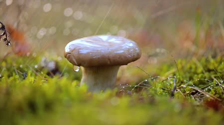 boletus : Mushroom Boletus In a Sunny forest in the rain. Boletus is a genus of mushroom-producing fungi, composition over 100 species. Stock Footage