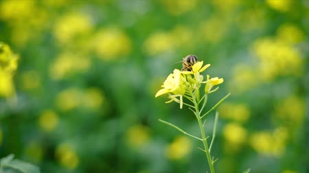 rape : Bee collects nectar from mustard rapeseed flower slow motion.