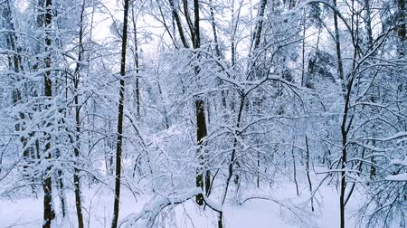 kar taneleri : Snowy branches in forest. Winter fairy background Stok Video