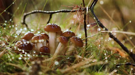 vahşi : Armillaria Mushrooms of honey agaric In a Sunny forest in the rain. Honey Fungus are considered in Ukraine, Russia, Poland, Germany and other European countries as one of the best wild mushrooms. Stok Video