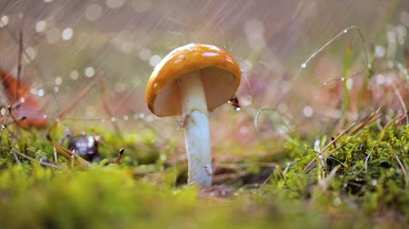 mossy : Fly agaric Mushroom In a Sunny forest in the rain. Amanita muscaria, commonly known as the fly agaric or fly amanita, is a basidiomycete mushroom, one of many in the genus Amanita. Stock Footage