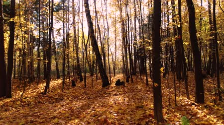 golden color : Colorful autumn forest wood