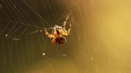 arachnophobia : Spider on cobweb close-up spider caught its prey. Stock Footage