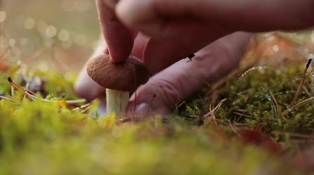 boletus : Man cuts a mushroom with a knife in the autumn forest. Stock Footage