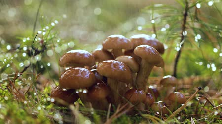 ground : Armillaria Mushrooms of honey agaric In a Sunny forest in the rain. Honey Fungus are considered in Ukraine, Russia, Poland, Germany and other European countries as one of the best wild mushrooms. Stock Footage