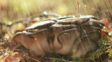 oysters : Pleurotus Mushroom In a Sunny forest in the rain.Pleurotus is a genus of gilled mushrooms which includes one of the most eaten mushrooms.Pleurotus may be called oyster abalone or tree mushrooms