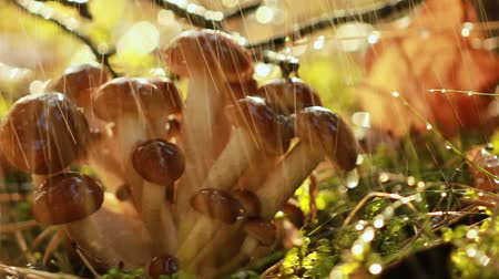 rain forest : Armillaria Mushrooms of honey agaric In a Sunny forest in the rain. Honey Fungus are considered in Ukraine, Russia, Poland, Germany and other European countries as one of the best wild mushrooms. Stock Footage
