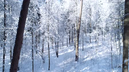 acalmar : Flying between the trees in snowy forest winter.