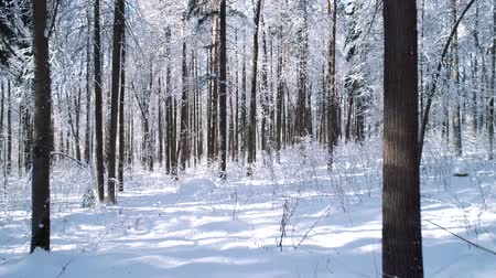 abeto : Flying between the trees in snowy forest winter.
