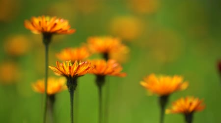 cins : Crepis, commonly known in some parts of the world is a genus of annual and perennial flowering plants of the family Asteraceae. Stok Video