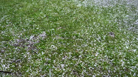 peas : Large hail falls on the green grass. Stock Footage