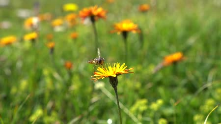 polinização : Bee collects nectar from flower crepis alpina