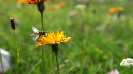 hoverfly : Bee collects nectar from flower crepis alpina
