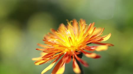 годовой : Crepis, commonly known in some parts of the world is a genus of annual and perennial flowering plants of the family Asteraceae. Стоковые видеозаписи