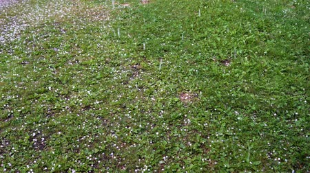 after the storm : Large hail falls on the green grass. Stock Footage