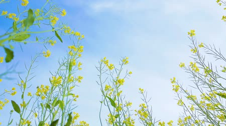 open blossom : Mustard flowers. Mustard – mystical flower of happiness and health.