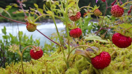 hull : Berry of ripe strawberries close up. Nature of Norway