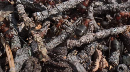 communion : Wild ant hill in the forest super macro close-up shot