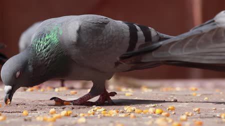 rajasthan : Pigeons on the walking street slow motion move. India Rajasthan.