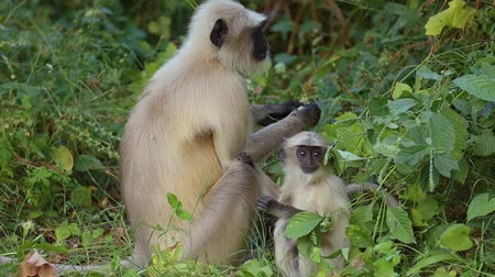 cins : Gray langur (Semnopithecus), also called Hanuman langur is a genus of Old World monkeys native to the Indian subcontinent. Ranthambore National Park Sawai Madhopur Rajasthan India