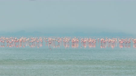 flamingi : Flamingos or flamingoes are a type of wading bird in the family Phoenicopteridae, the only bird family in the order Phoenicopteriformes. Rajasthan, India.