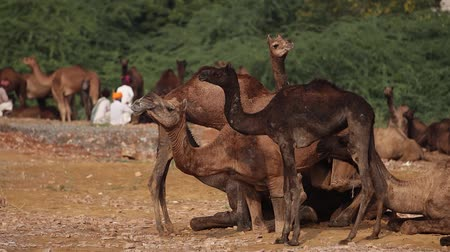 bennszülött : Camels in slow motion at the Pushkar Fair, also called the Pushkar Camel Fair or locally as Kartik Mela is an annual multi-day livestock fair and cultural held in the town of Pushkar Rajasthan, India.