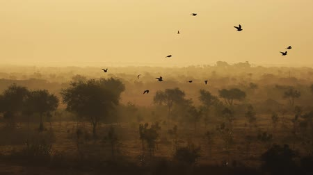 monção : Birds at sunrise on the background of beautiful nature of India in slow motion. Rajasthan, India.