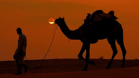 the bedouin : Cameleers, camel Drivers at sunset in slow motion. Thar desert on sunset Jaisalmer, Rajasthan, India. Stock Footage