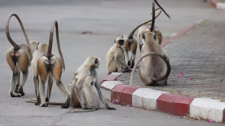 cins : Gray langur (Semnopithecus), also called Hanuman langur is a genus of Old World monkeys . Inhabiting forest, open lightly wooded habitats, and urban areas on the Indian subcontinent.