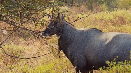 라자스탄 : Nilgai or blue bull is the largest Asian antelope and is endemic to the Indian subcontinent. The sole member of the genus Boselaphus. Ranthambore National Park Sawai Madhopur Rajasthan India