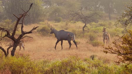 cins : Nilgai or blue bull is the largest Asian antelope and is endemic to the Indian subcontinent. The sole member of the genus Boselaphus. Ranthambore National Park Sawai Madhopur Rajasthan India