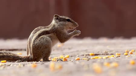 indian squirrel : Indian palm squirrel or three-striped palm squirrel (Funambulus palmarum) is a species of rodent in the family Sciuridae found naturally in India (south of the Vindhyas) and Sri Lanka. Stock Footage