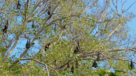 ranthambore national park : Indian flying fox (Pteropus medius, formerly Pteropus giganteus), also known as the greater Indian fruit bat, is a species of flying fox found in South Asia.Ranthambore National Park Rajasthan India