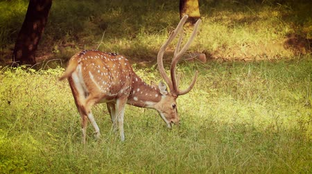 axe : Chital or cheetal, also known as spotted deer, chital deer, and axis deer, is a species of deer that is native in the Indian subcontinent. Ranthambore National Park Sawai Madhopur Rajasthan India.