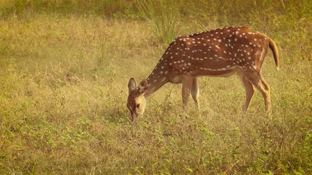 ismert : Chital or cheetal, also known as spotted deer, chital deer, and axis deer, is a species of deer that is native in the Indian subcontinent. Ranthambore National Park Sawai Madhopur Rajasthan India.