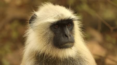 bandhavgarh : Gray langur (Semnopithecus), also called Hanuman langur is a genus of Old World monkeys native to the Indian subcontinent. Ranthambore National Park Sawai Madhopur Rajasthan India
