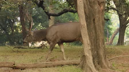 nadir : Sambar Rusa unicolor is a large deer native to the Indian subcontinent, South China, and Southeast Asia that is listed as a vulnerable species. Ranthambore National Park Sawai Madhopur Rajasthan India Stok Video