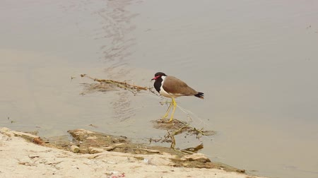 indicus : Red-wattled lapwing (Vanellus indicus) is an Asian lapwing or large plover, a wader in the family Charadriidae. Ranthambore National Park Sawai Madhopur Rajasthan India