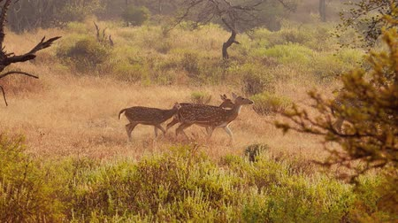 ranthambore national park : Chital or cheetal, also known as spotted deer, chital deer, and axis deer, is a species of deer that is native in the Indian subcontinent. Ranthambore National Park Sawai Madhopur Rajasthan India.