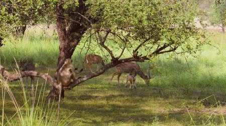 олененок : Chital or cheetal, also known as spotted deer, chital deer, and axis deer, is a species of deer that is native in the Indian subcontinent. Ranthambore National Park Sawai Madhopur Rajasthan India.