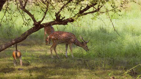 paroh : Chital or cheetal, also known as spotted deer, chital deer, and axis deer, is a species of deer that is native in the Indian subcontinent. Ranthambore National Park Sawai Madhopur Rajasthan India.