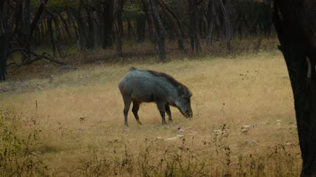 subspecies : Indian boar (Sus scrofa cristatus), also known as the Andamanese pig or Moupin pig is a subspecies of wild boar native to India, Nepal, Burma, western Thailand and Sri Lanka.