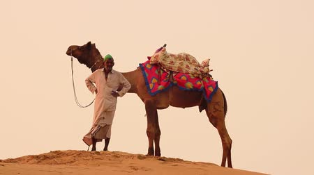 the bedouin : Cameleers, camel Drivers at sunset. Thar desert on sunset Jaisalmer, Rajasthan, India. Stock Footage