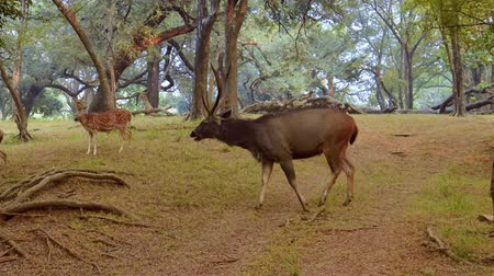 ranthambore national park : Sambar Rusa unicolor is a large deer native to the Indian subcontinent, South China, and Southeast Asia that is listed as a vulnerable species. Ranthambore National Park Sawai Madhopur Rajasthan India Stock Footage