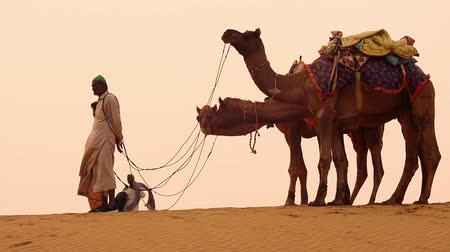 duna : Cameleers, camel Drivers at sunset. Thar desert on sunset Jaisalmer, Rajasthan, India. Stock Footage